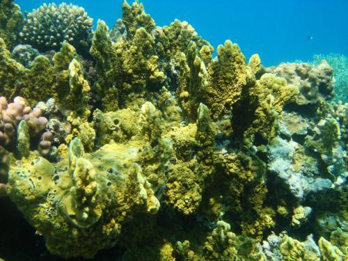 желтый коралл.jpg