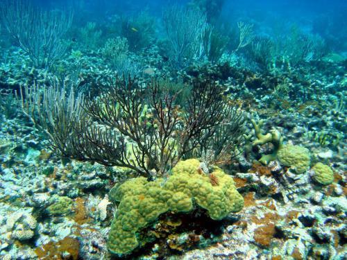 черный коралл.jpg