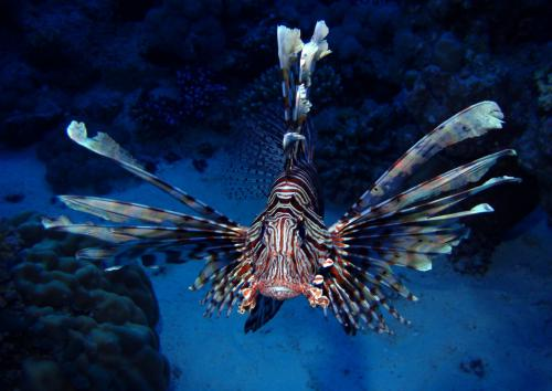 lion-fish_web.jpg
